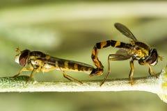 Unosi się komarnicy podczas kotelni Fotografia Stock