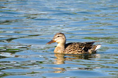 Unoszący się w wodzie kaczki Fotografia Stock