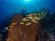 Unparalleled levels of marine diversity. Misool, Raja Ampat, Indonesia. The reefs in the Misool Marine Protected Area within Raja Ampat, Indonesia, are the royalty free stock image