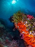 Unparalleled levels of marine diversity. Misool, Raja Ampat, Indonesia. The reefs in the Misool Marine Protected Area within Raja Ampat, Indonesia, are the royalty free stock photography