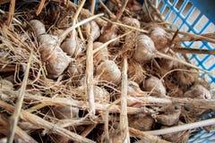 Unpeeled garlic. On the farm harvesting garlic, raw garlic is in a blue basket Royalty Free Stock Photos