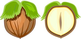 Unpeeled hazelnut and cut in half inside longitudinal section. Isolated on white background vector illustration