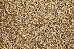 Unpeeled oat seeds mixed with dried pea grains background. royalty free stock photos