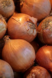 Unpeeled onion Stock Images