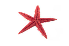 Unpeeled red starfish Stock Images