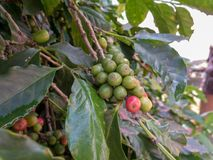 Unpick coffee beans in the coffee farm. At Doi Chang that located in north of Thailand Royalty Free Stock Photography