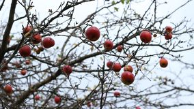 Unpicked Red Apples on Branches stock video