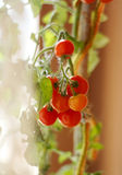 Unpicked tomatoes. Bunch of small ripe unpicked cherry tomatoes Stock Image