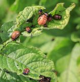 An unpleasant slippery red insects pests are the larvae of the C. Olorado potato beetle was obladali green shoots on the farm stock image