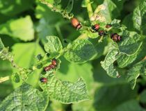 An unpleasant slippery red insects pests are the larvae of the C. Olorado potato beetle was obladali green shoots on the farm royalty free stock photo