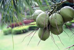 Unplucked Coconut. Young coconuts is on coconut tree Royalty Free Stock Photography