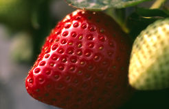 Unplucked Strawberry Stock Images
