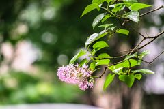 Flowering branch of lilac after rain. Unpretentious spring flowers await Sunny weather after long rain Royalty Free Stock Image