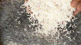 Unprocessed рис будучи политым от рук человека сток-видео