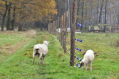 Free Unprotected Flock Of Sheep In The Wolf Area Royalty Free Stock Photography - 138218897