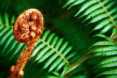 Unravelling fern frond closeup Royalty Free Stock Photos