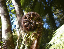 Unravelling fern frond closeup, one of New Zealand symbols stock photos