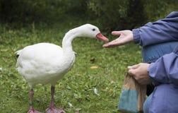 Unrecognisable żeńska ręka karmi kaczki Fotografia Royalty Free