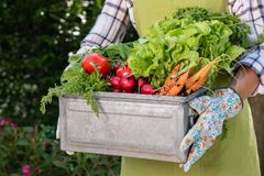 Unrecognisable female farmer holding crate full of freshly harvested vegetables in her garden. Homegrown bio produce concept. Sustainable living Royalty Free Stock Photos