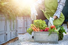 Unrecognisable female farmer holding crate full of freshly harvested vegetables in her garden. Homegrown bio produce concept. Small business owner Royalty Free Stock Image