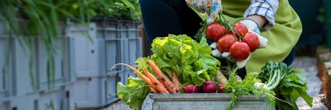 Free Unrecognisable Female Farmer Holding Crate Full Of Freshly Picked Vegetables In Her Garden. Homegrown Bio Produce. Stock Image - 124158761