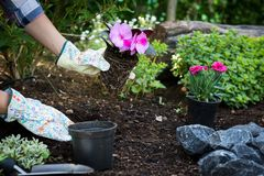 Unrecognisable Female Gardener Holding Beautiful Flower Ready To Be Planted In A Garden. Gardening Concept. Garden Landscaping. Stock Photography