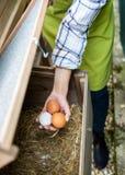 Unrecognisable Frau, die Eier aus Freilandhaltung vom Hühnerhaus sammelt Legehennen des Eies und junger weiblicher Landwirt Gesun lizenzfreie stockbilder
