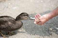 Unrecognisable hand feeding a duck. Close up image of a hand feeding a duck Stock Images
