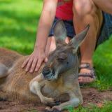 Unrecognisable kvinna som daltar en sömnig känguru Arkivfoton