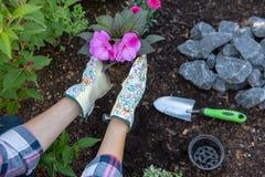 Unrecognisable vrouwelijke tuinman die een bloeiende installatie klaar houden om in haar tuin worden geplant Het tuinieren concep stock foto's