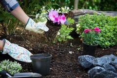 Unrecognisable weiblicher Gärtner, der schöne Blume bereit, in einem Garten gepflanzt zu werden hält Im Garten arbeitenkonzept Ja stockfotografie