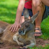 Unrecognisable woman petting a sleepy kangaroo. In wildlife nature reserve Stock Photos