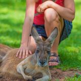 Unrecognisable woman petting a sleepy kangaroo. In wildlife nature reserve Stock Photo