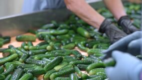 Unrecognisable workers sorting cucumbers. Preserving Cucumber. Canned cucumbers. Glass jars with cucumbers and spices.