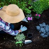 Unrecognizable female gardener planting flowers in her garden. Gardening. Overhead view. Royalty Free Stock Image