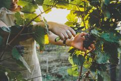Unrecognizable Girl Cuts The Grapes With Scissors. Agritourism Farm Concept stock image