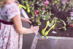 Unrecognizable little girl holds in her hands seedlings of flowers in plastic pots, helping to plant spring plants in. The garden. Concept of spring royalty free stock image