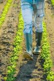 Unrecognizable male farmer walking through soybean plants rows Stock Image