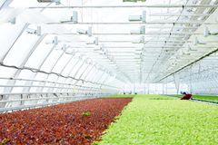 Industrial cultivation of greens Stock Photography