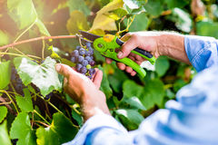 Unrecognizable man cutting bunch of ripe blue grapes Stock Photos