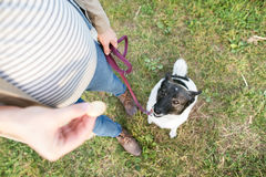 Unrecognizable pregnant woman with dog in green sunny nature. Unrecognizable young pregnant woman on a walk with a dog, feeding him. Green sunny nature Royalty Free Stock Photos