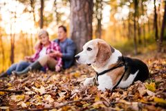 Senior couple with dog on a walk in an autumn forest. Royalty Free Stock Photography