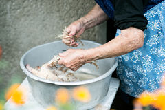 Unrecognizable senior woman cleaning freshly slaughtered chicken. Unrecognizable senior woman cleaning and washing freshly slaughtered chicken outside in front Royalty Free Stock Photo