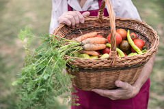 Unrecognizable senior woman in her garden harvesting vegetables Royalty Free Stock Photography