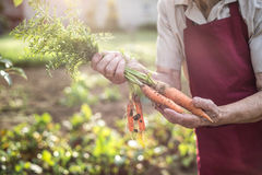 Unrecognizable senior woman in her garden holding carrots Stock Photos