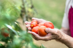 Unrecognizable senior woman in her garden holding tomatoes. Hands of unrecognizable senior woman in her garden holding tomatoes. Close up Stock Images