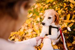 A senior woman in wheelchair with dog in autumn nature. Royalty Free Stock Images