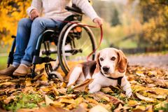 A senior woman in wheelchair with dog in autumn nature. Stock Photography