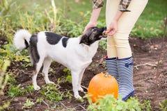 Unrecognizable woman with dog harvesting pumpkins, autumn garden Stock Photo