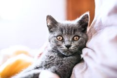 Unrecognizable young woman with a kitten. Royalty Free Stock Photos